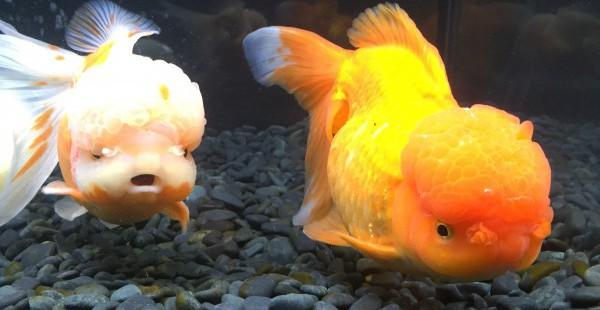 祝!御殿場 時之栖 金魚展 江戸の粋Aquarium2015が来年3月まで延長だって!